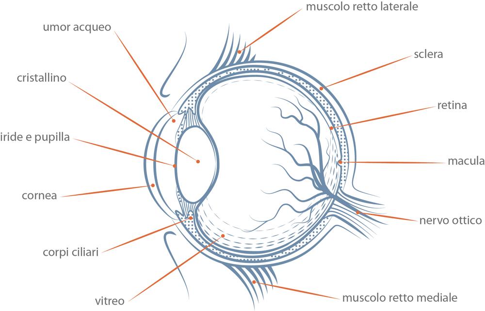 Anatomia del bulbo oculare