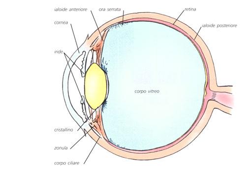 Il corpo vitreo composizione funzione patologie